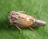 Leafhoppers genus Idiocerus