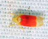 Leafhoppers genus Ossiannilssonola