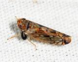 Dryinidae (parasite)