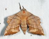 7827 - Walnut Sphinx - Amorpha juglandis