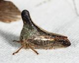 Glossonotus turriculatus