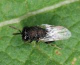 Perilampidae