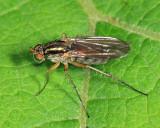 Dolichopus cuprinus group