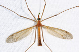 Tipula duplex