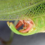 Northern Bush Katydid - Scudderia septentrionalis (male)