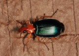 Large Foliage Ground Beetle - Lebia grandis