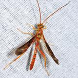 Ichneumon Wasps - Labeninae
