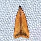 2309 - Black-edged Dichomeris - Dichomeris picrocarpa