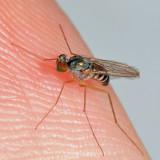 Dactylomyia lateralis