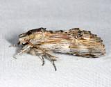 8017 - White-streaked Prominent - Oligocentria lignicolor