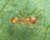 Acorn Ant - Temnothorax curvispinosus