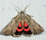 8851 - Scarlet Underwing - Catocala coccinata