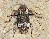Astylopsis macula