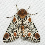9286 - Harris's Three Spot - Harrisimemna trisignata