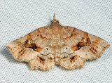 8490 - Decorated Owlet - Pangrapta decoralis