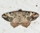 6352 - Granite Moth - Macaria granitata