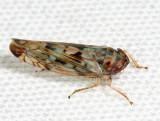 Scaphoideus carinatus