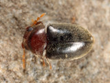 Tricorynus dichrous