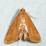 4763 - Floating-heart Waterlily Moth - Parapoynx seminealis