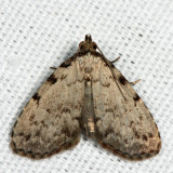 8427 – Spot-edged Dyspyralis Moth – Dyspyralis puncticosta