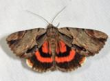 Noctuidae Catocalinae Moths  8770 - 8879