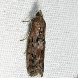 5797 - Black-spotted Leafroller - Sciota virgatella