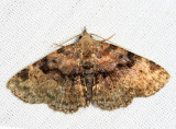 8500 - Four-spotted Fungus Moth - Metalectra quadrisignata