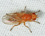 Actenoptera sp.