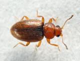 Corticarina cavicollis