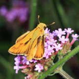 Fiery Skipper - Hylephila phyleus (male)