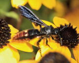 Blue-winged Wasp - Scolia dubia