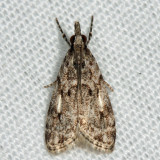 4719 - Many-spotted Scoparia - Scoparia basalis