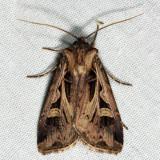 10670 - Dingy Cutworm - Feltia jaculifera