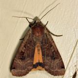 11003.1 - Large Yellow Underwing - Noctua pronuba