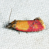3848 - Primrose Cochylid Moth - Cochylis oenotherana