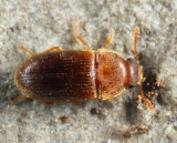 Typhaea stercorea