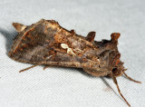 8908 - Common Looper Moth - Autographa precationis