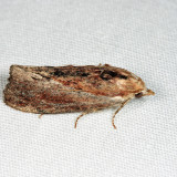 5622 - Greater Wax Moth - Galleria mellonella