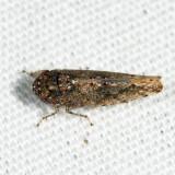 Bespeckled Leafhopper - Paraphlepsius irroratus
