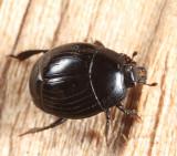 Margarinotus cognatus