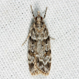 4716 - Double-striped Scoparia - Scoparia biplagialis