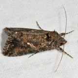 8887 -  Ni Moth - Trichoplusia ni