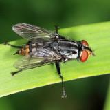 Flesh Flies - subfamily Miltogramminae