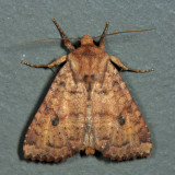 9373 - Yellow Three-Spot - Apamea helva