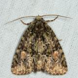 9619 - Spotted Phosphila - Phosphila miselioides