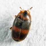Minute Hooded Beetles - Corylophidae