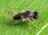 Lindneromyia flavicornis