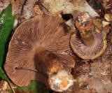 Cortinarius corrugatus