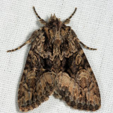 9419 – Adorable Brocade Moth – Platypolia mactata