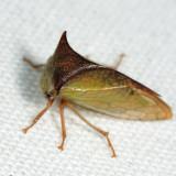 Ceresa tauriniformis